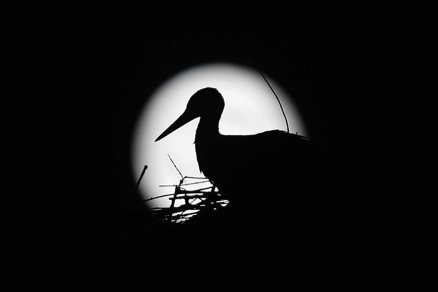 A stork is silhouetted against the Supermoon in its nest in downtown Arriate, in the southern Spanish province of Malaga early July 13, 2014. -- PHOTO: REUTERS