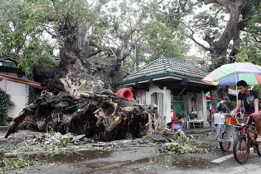 An ice cream vendor cycles past a huge fallen tree after an onslaught of Typhoon Rammasun, (locally named Glenda) in Batangas city south of Manila on July 17, 2014. -- PHOTO: REUTERS