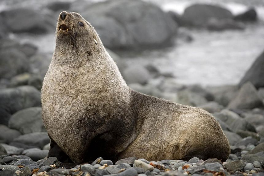 A file photo taken on Oct 28, 2008 shows a fur seal on the shore of King George Island, Antarctica. -- PHOTO: AFP