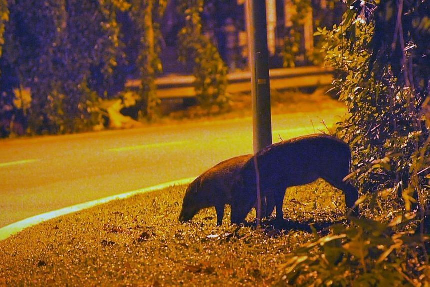 Wild boars searching for food by the side of the Old Upper Thomson Road at night on Jan 16, 2012. About 80 wild boars in the Lower Peirce area have been culled by the authorities since 2012 to improve public safety and reduce damage to the area'