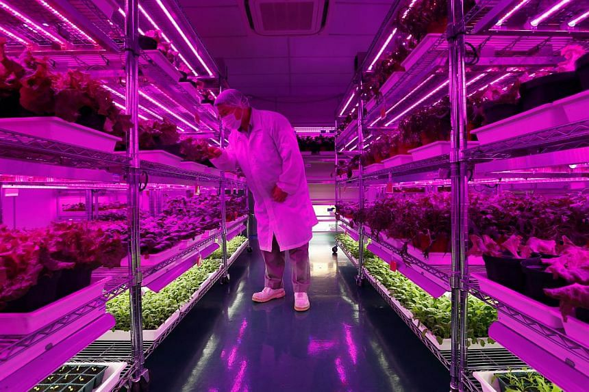 While Panasonic churns out electrical and electronic products in Bedok (above left) and Jurong, it grows pesticide-free vegetables (above) at an indoor farm in its Jurong factory building, where conditions such as light, temperature and humidity are