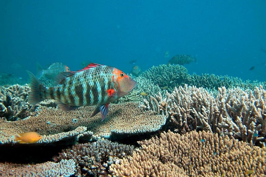 Australia's Great Barrier Reef remains under threat despite efforts to rein in major sources of damage to the World Heritage-listed icon, the government said on Tuesday, Aug 12, 2014. -- PHOTO:OVE HOEGH-GUILDBERG