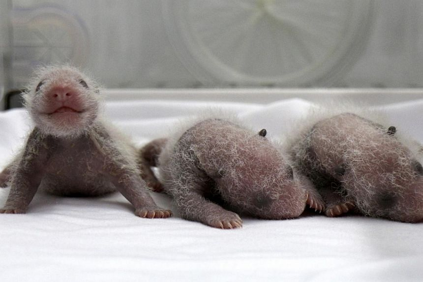 Newborn giant panda triplets, which were born to giant panda Juxiao (not pictured), are seen inside an incubator at the Chimelong Safari Park in Guangzhou, Guangdong province on Aug 9, 2014.A Chinese zoo has unveiled newborn panda triplets bill