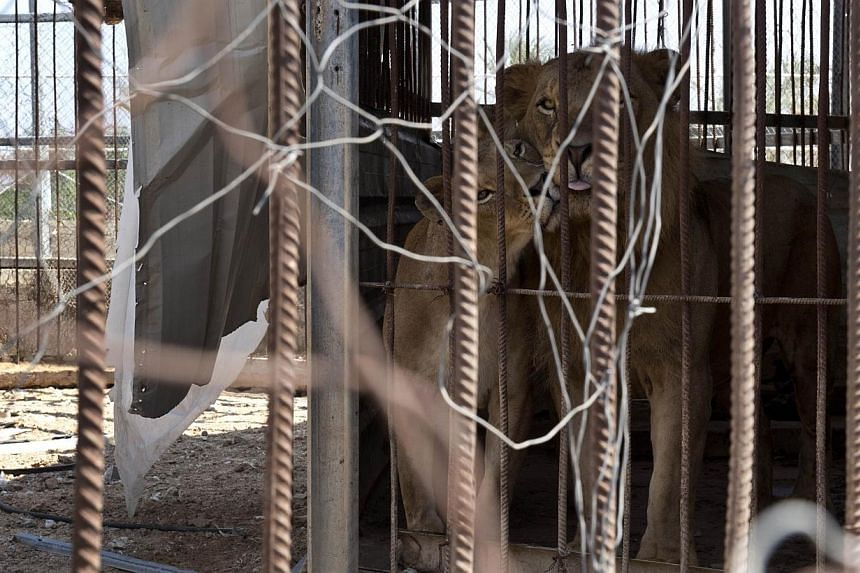 A lion and lioness cuddle from inside their cage at the Bisan City tourist village zoo, in Beit Hanun on Aug 14, 2014. -- PHOTO: AFP