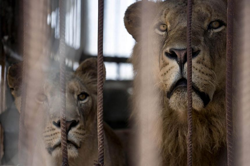 A lion and lioness look on from inside their cage at the Bisan City tourist village zoo, in Beit Hanun on Aug 14, 2014. -- PHOTO: AFP