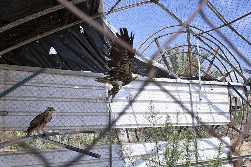 Birds of prey are pictured inside their cage at the Bisan City tourist village zoo, in Beit Hanun on Aug 14, 2014. -- PHOTO: AFP