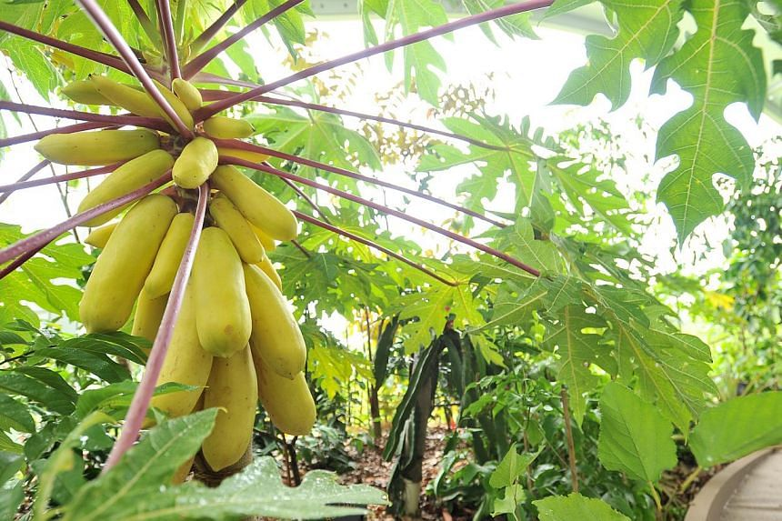 Children will love the Learning Garden, which is set up like a home garden plot and features vegetables and fruit such as the golden papaya (right).