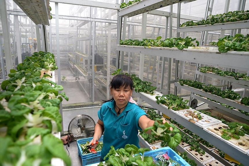 Iris Goh, 49, a farm hand at Sky Greens harvesting the vegetable Nai Bai. Sky Greens is Singapore's first vertical farm. -- ST PHOTO: JAMIE KOH