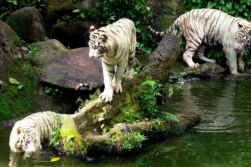 Bengal white tigers Omar, Jippie and Winnie at the Singapore Zoo in 2001. Winnie, one of the Singapore Zoo's remaining two white tigers, was put down as it had been suffering from a worsening tumour in its jaw bone. -- PHOTO: ST FILE