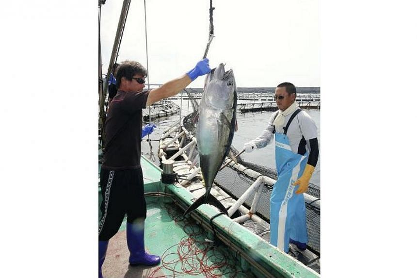 Japanese fisherman holding up a Pacific bluefin tuna they caught. Japan plans to propose a 50 per cent cut on catches of young bluefin tuna in the Western and Central Pacific, officials said on Tuesday, Aug 25, 2014. -- PHOTO: YOMIURI SHIMBUN/ASIA NE