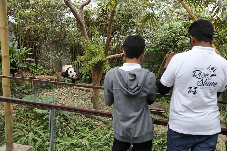 Panda lovers can soon go behind the scenes to see how giant pandas Kai Kai and Jia Jia are taken care of and even help prepare their breakfast. -- ST PHOTO: ONG WEE JIN