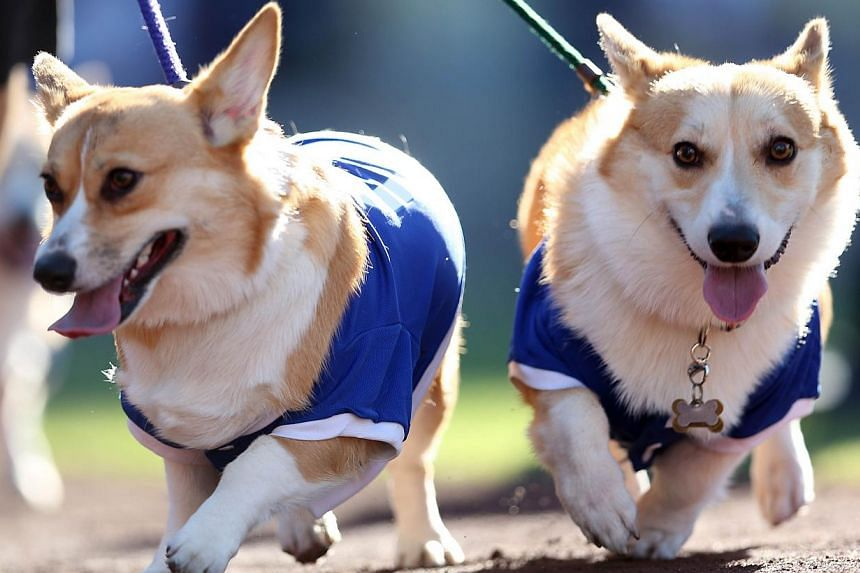 """Dogs walk around the warning track as they take part in the Dodgers' annual """"Pups in the Park"""" day before the game between the New York Mets and the Los Angeles Dodgers at Dodger Stadium in the United States. -- PHOTO: AFP"""