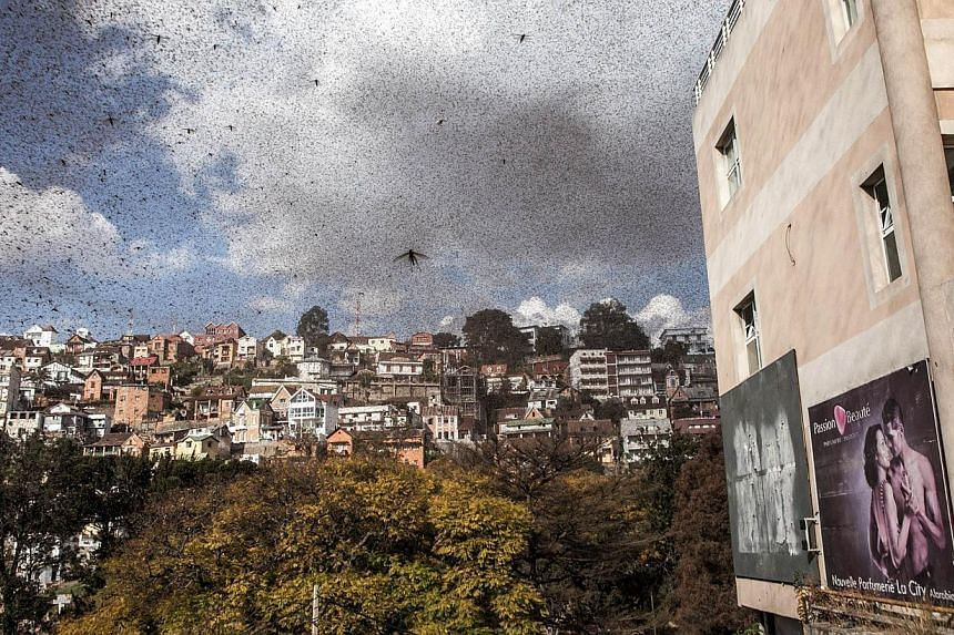 A swarm of locusts invades the centre of Madagascar's capital Antananarivo on August 28, 2014. Such swarms have multiplied uncontrollably in recent years, because of government inaction following a coup. The island's hot and humid climate s