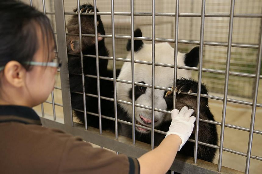 """Junior keeper Sim Pei Ying collecting samples of Jia Jia's urine (above), which are sent for analysis to endocrine technician Sarah Jane Dharmapalan (right), 20. Jia Jia's hormone levels are checked regularly to see if the female panda is """"in heat"""" a"""