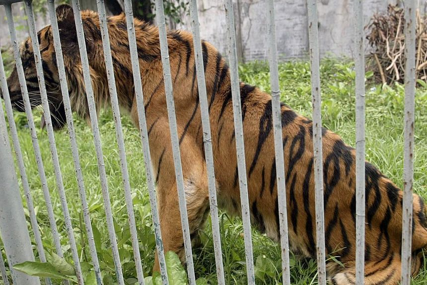 In this file photo taken on April 17, 2013, an ailing critically endangered Sumatran tiger named Melani is seen from an enclosure at the Surabaya Zoo. Melani has died a year after being rescued from the centre where hundreds of animals have peri