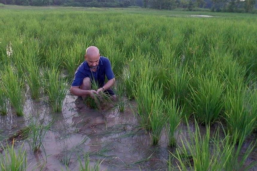 The Straits Times' Indochina bureau chief Nirmal Ghosh pulling out weeds in an organic rice field in Chun, northern Thailand, on Aug 31, 2014. -COPYRIGHT: PASSANAN CUTTER