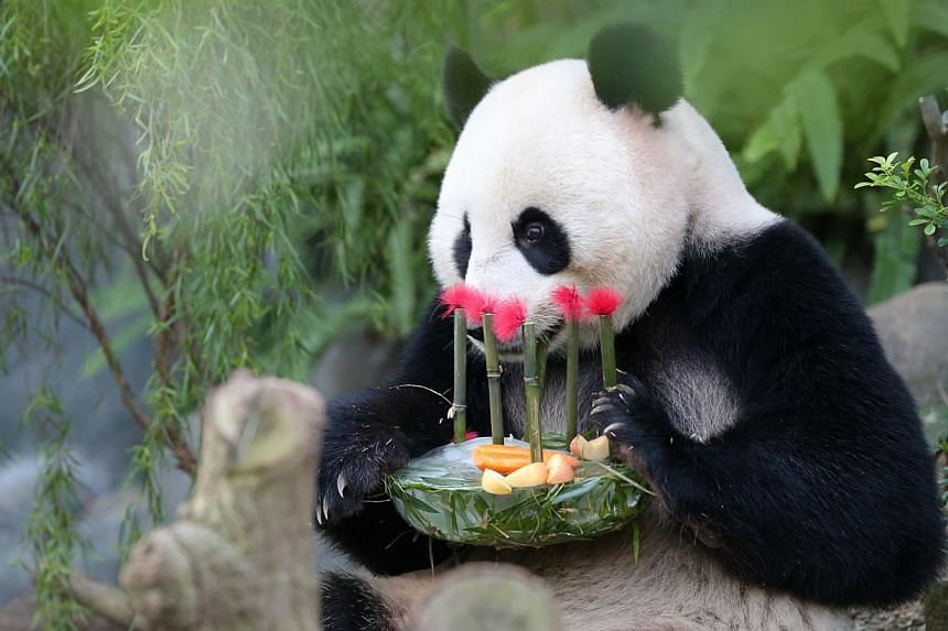 The River Safari held a panda party yesterday to celebrate the birthdays of Kai Kai and Jia Jia (above), as well as the pandas' second anniversary in Singapore.
