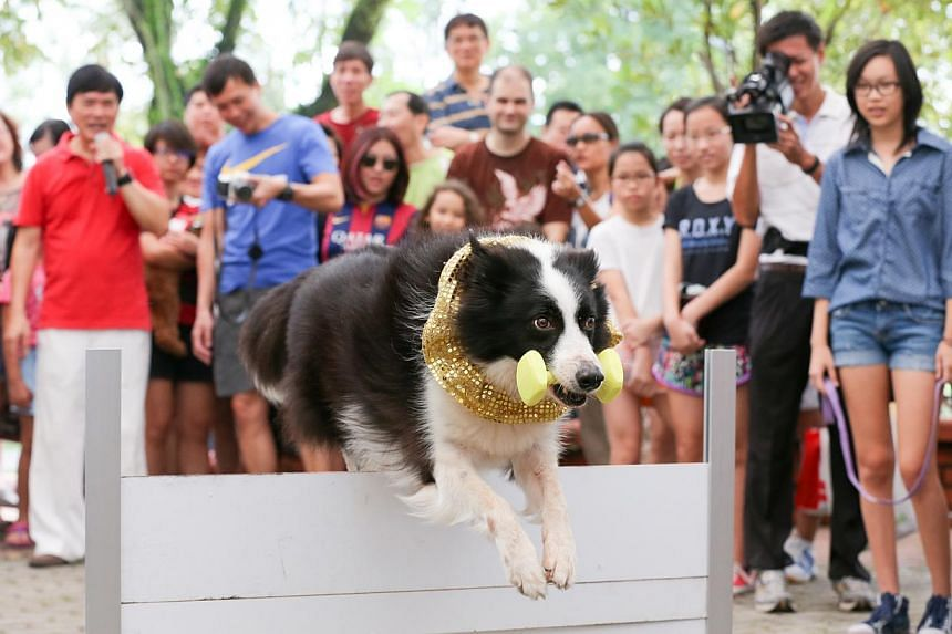 Sheppi, a border collie, jumps over an obstacle after fetching a dumbbell in a dog obedience demonstration.-- ST PHOTO:ONG WEE JIN