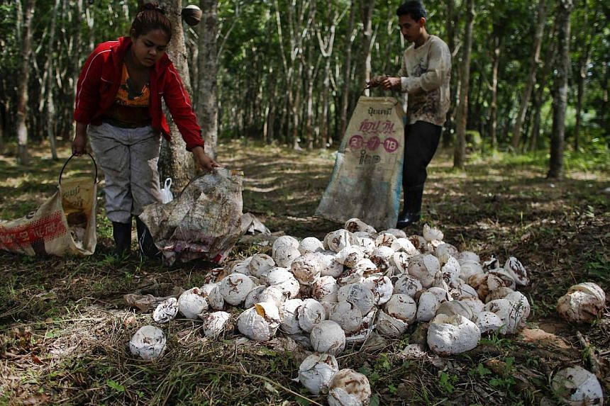 Worker collecting rubber on a rubber plantation in Phunpin, Surat Thani, in this file picture taken on Sept 5, 2013. Thai rubber growers are calling for an investigation into government claims it sold half the country's stockpile of the commodity, as