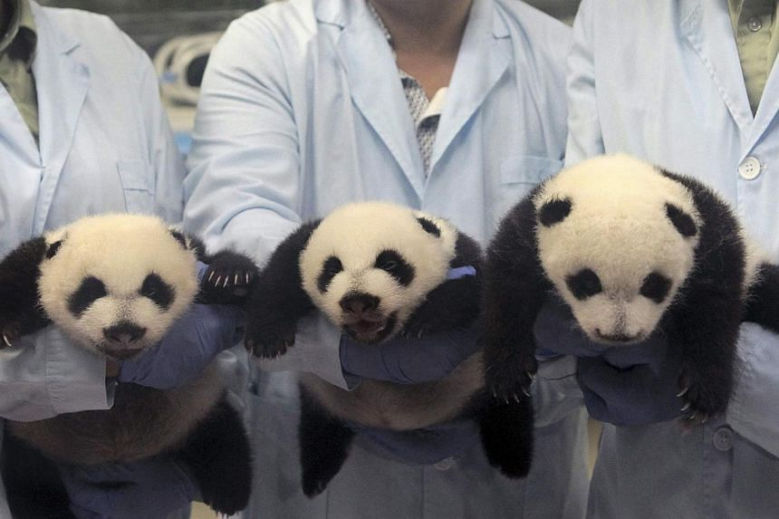 Feeders pose for photographs as they hold giant panda triplets, which recently opened their eyes, at Chimelong Safari Park in Guangzhou, Guangdong province on Sept 19, 2014. -- PHOTO: REUTERS