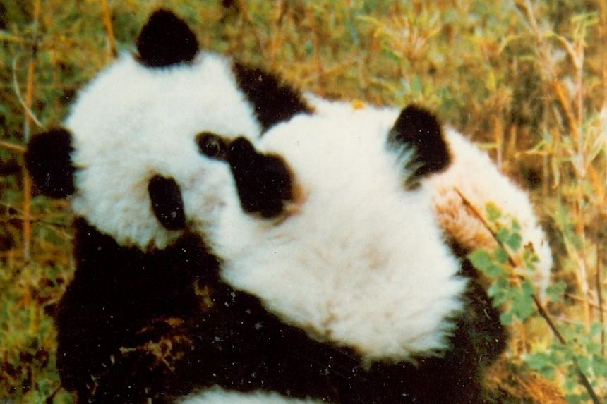 An An and Xin Xing were the first two giant pandas to be brought to Singapore on loan from China on Sept 19, 1990.--PHOTO: ST FILE