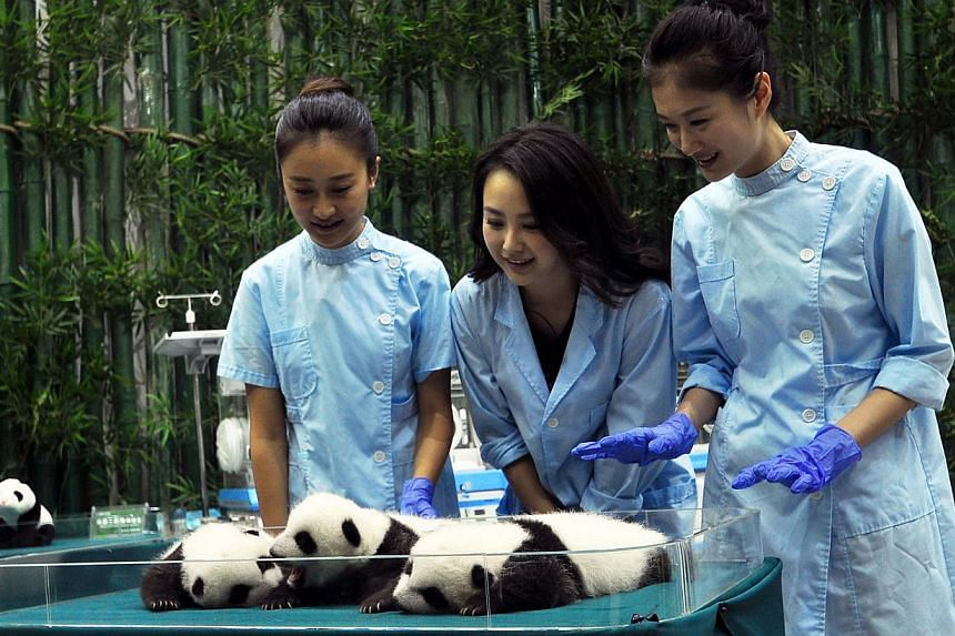 """Three """"Miss Chinese"""" contestants prepare to feed the giant panda triplets at Chimelong Safari Park in Guangzhou, south China's Guangdong province on Sept 19, 2014. -- PHOTO: AFP"""