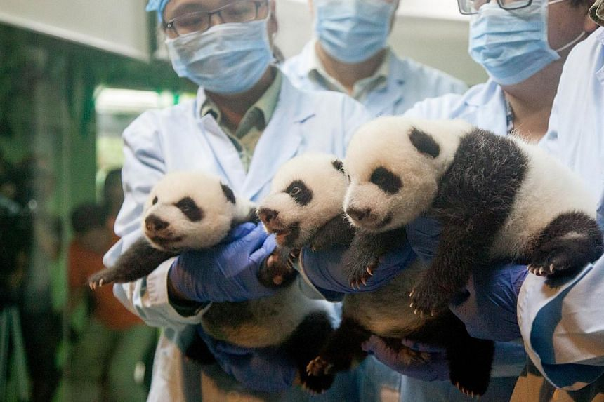 Newborn panda triplets being shown to the public for the first time after they opened their eyes at Chimelong Safari Park in Guangzhou, south China's Guangdong province on Sept 18, 2014. -- PHOTO: AFP