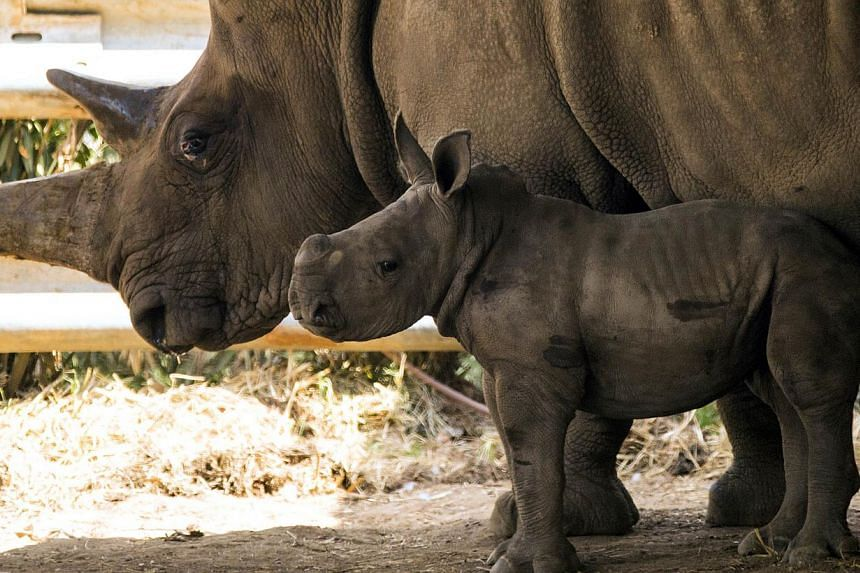 A three-week-old female White Rhinoceros stands next to her mother Tanda, 21, at the Ramat Gan Safari, an open-air zoo near Tel Aviv. -- PHOTO: AFP