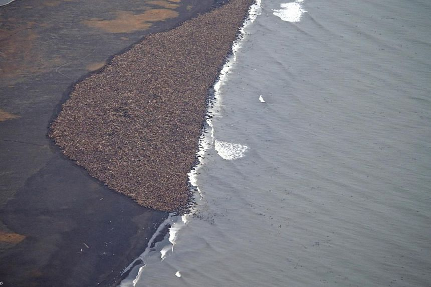 An estimated 35,000 walruses are pictured on a beach near the village of Point Lay, Alaska, in this September 2014 handout photo. -- PHOTO: REUTERS