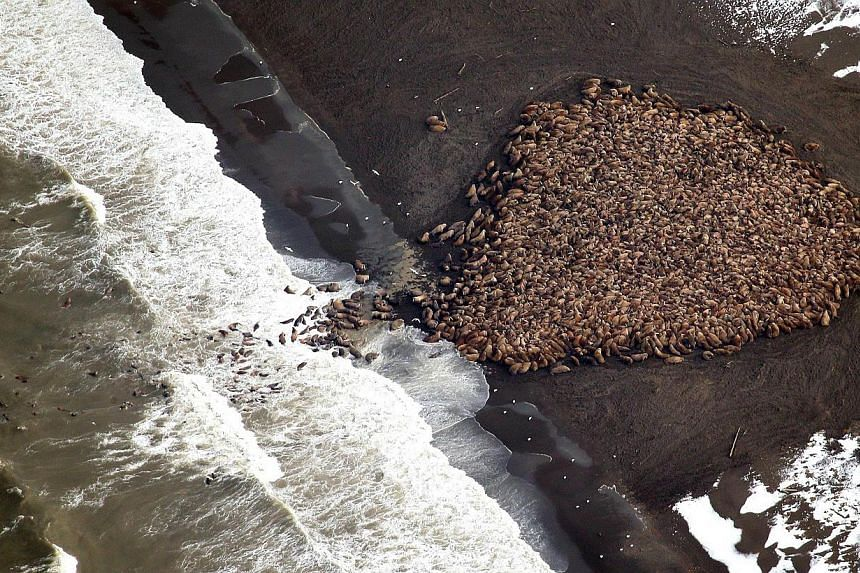 This National Oceanic and Atmospheric Administration(NOAA) photo obtained on Oct 1, 2014, shows an estimated 35,000 walrus as they gather on shore on Sept 23, 2014, at Point Lay, Alaska according to NOAA. -- PHOTO: AFP