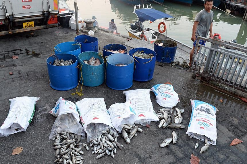 Fish farm workers in the Pasir Ris area were seen moving bags of dead fish by boat to the vicinity of Changi Point Ferry Terminal, where a container had been set up for dead fish on Feb 10, 2014. The AVA is looking into the mass fish deaths in over 2