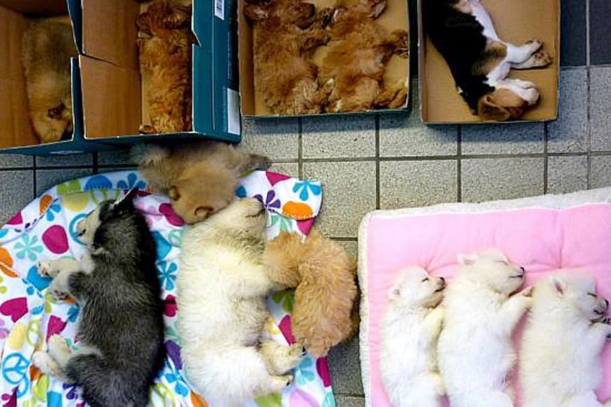 A Singaporean woman was arrested at Woodlands Checkpoint last month for trying to smuggle 13 puppies into the country. They were hidden in three black bags in a Singapore-registered car. -- PHOTO: IMMIGRATION AND CHECKPOINTS AUTHORITY