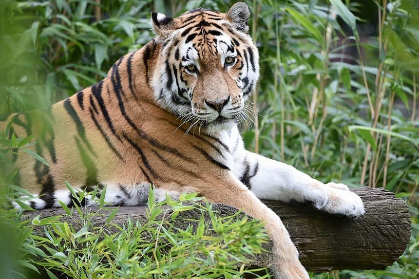 A Siberian tiger restsin its enclosure at the zoo in Muenster, western Germany, on Aug 18, 2014.China is on the hunt for a Siberian tiger released into the wild by Russian President Vladimir Putin, state media said, after the animal roame