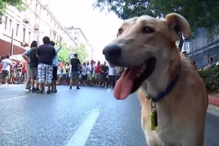 A screenshot of Sausage in action during protests in Greece in 2011. Sausage, the ginger mongrel who became famous for appearing at anti-austerity protests and barking at riot police at the height of Greece's debt crisis, has died of a heart att