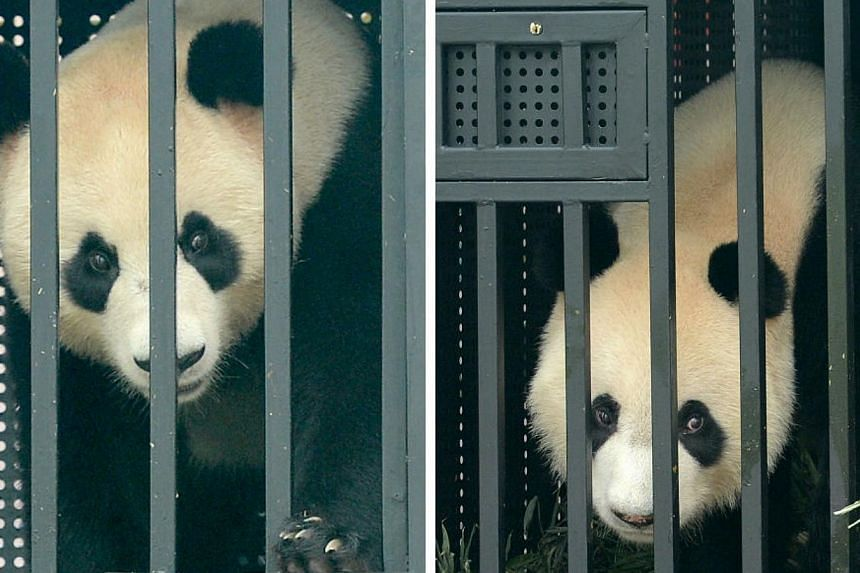 Giant pandas Kai Kai (right) and Jia Jia who arrived from Chengdu, China, on a Boeing 747-400 freighter in September 2012. -- PHOTO: MY PAPER FILE
