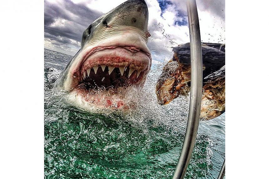 A New Jersey schoolteacher's dramatic photo of a great white shark lunging for fish bait is making waves on social media. -- PHOTO: AMANDA BREWER/INSTAGRAM