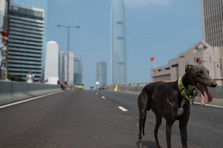 A dog stands on an empty road outside the Central Government Office in Hong Kong on Oct 5, 2014. Hong Kong has been plunged into the worst political crisis since its 1997 handover as pro-democracy activists take over the streets following China's ref