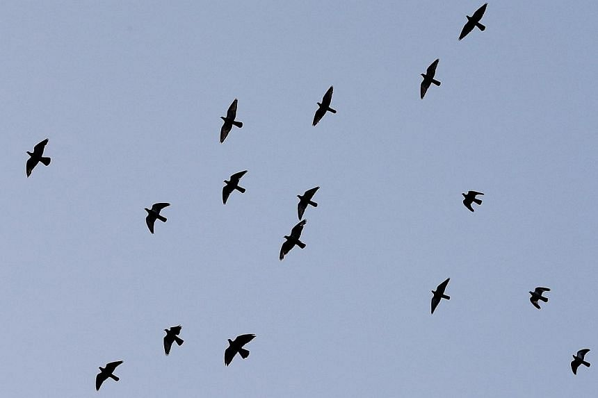 A flock of pigeons fly in the slightly hazy gray skies at 7.10am on Oct 14, 2014.  -- ST PHOTO: NEO XIAOBIN