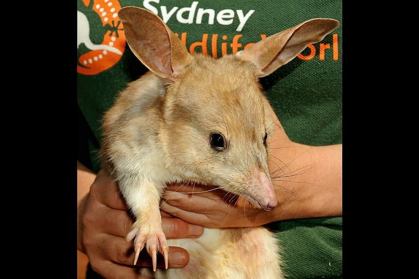 A file photo taken on 2009 shows a nocturnal male Bilby held by keeper Kate Blount at Sydney Wildlife World. Australia's Environment Minister Greg Hunt has pledged in a speech late on Oct 15, 2014 to end the extinction of native mammal species by 202