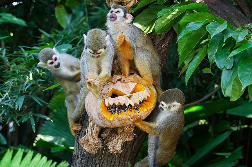 Cute antics of squirrel monkeys chomping through the festive pumpkin treats during Halloween at the River Safari.Wildlife Reserves Singapore (WRS) is back with a Halloween event for the first time in three years. -- PHOTO:WILDLIFE RESERVE