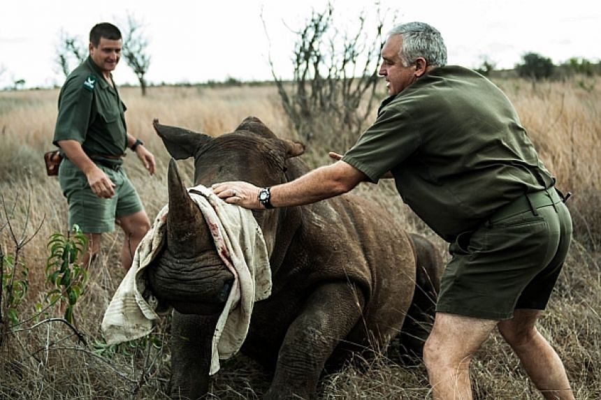 Operations manager Marius Kruger (right) and Kruger National Park's head veterinarian Marcus Hofmyer blindfold a young white rhinoceros to minimise stress during a capture on Oct 17, 2014. -- PHOTO: AFP
