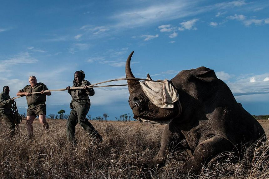 Dr Marius Kruger (centre) and members of the Kruger National Park keep the head of a rhinocerosup during relocation on Oct 17, 2014. -- PHOTO: AFP