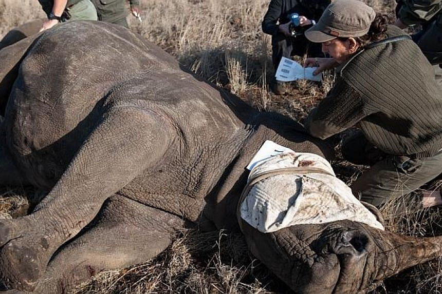 A member of the Kruger National Park game capture team implants a identification microchip in a white rhinoceroson Oct 17, 2014. -- PHOTO: AFP