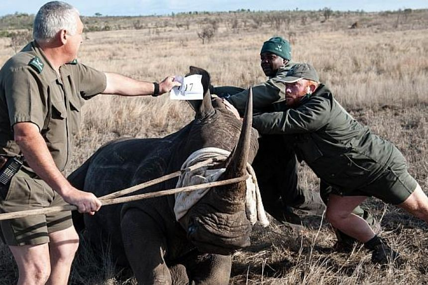 Dr Marius Kruger (left) and members of the Kruger National Park Veterinary Wildlife Services keeps a white rhinoceros balanced during a relocation program on Oct 17, 2014. -- PHOTO: AFP