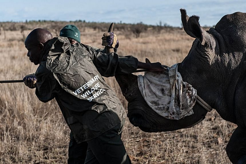 Ben Baloyi (left) and Thomas Mahori (back) members of the Kruger National Park Veterinary Wildlife Services in South Africa guide a sedated white rhinocerostoward a loading truck in the Kruger National Park on Oct 17, 2014. -- PHOTO: AFP