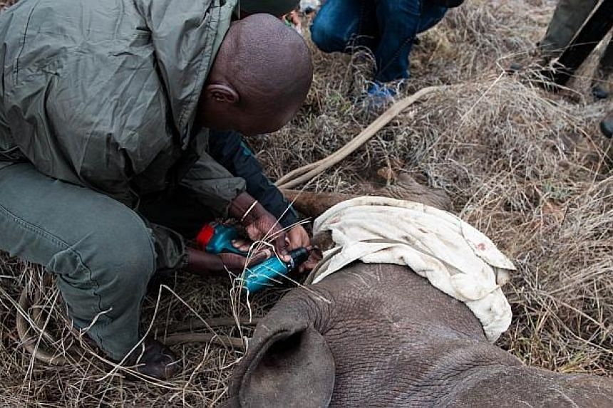 Ben Baloyi a member of the Kruger National Park Veterinary Wildlife Services in South Africa drills a hole in the horn of a white rhinocerosto implant a identification microchip on Oct 17, 2014. -- PHOTO: AFP