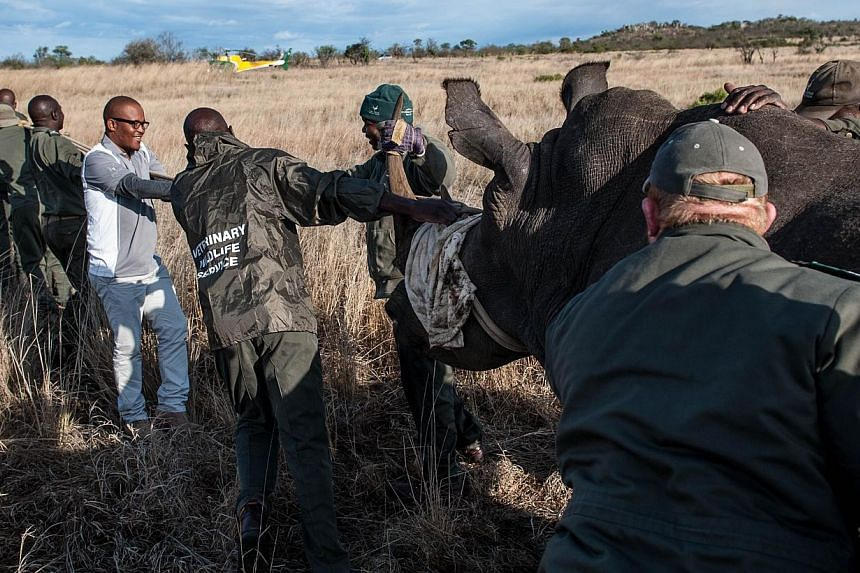 Members of the Kruger National Park Veterinary Wildlife Services in South Africa guide a sedated white rhinocerostoward a loading truck in the Kruger National Park on Oct 17, 2014. -- PHOTO: AFP