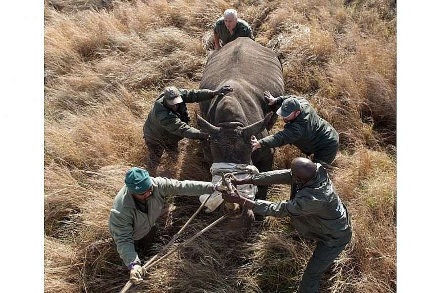 Operations Manager Marius Kruger (back) and members of the Kruger National Park Veterinary Wildlife Services in South Africa guide a sedated white rhinocerostoward a loading truck in the Kruger National Park on Oct 17, 2014. -- PHOTO: AFP