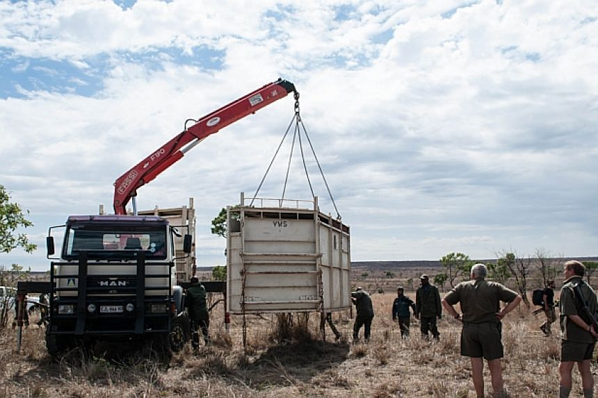 Members of the Kruger National Park Veterinary Wildlife Services in South Africa loads a container containing a rhinoceros on the back of a transport truck in the Kruger National Park during a relocation capture on Oct 17, 2014. -- PHOTO: AFP