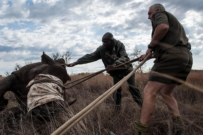 Ben Boloyi (left) and Dr Marius Kruger (right), members of the Kruger National Park Veterinary Wildlife Services in South Africa, gently helps a young sedated white rhinoceros to get on its feet on Oct 17, 2014. -- PHOTO: AFP